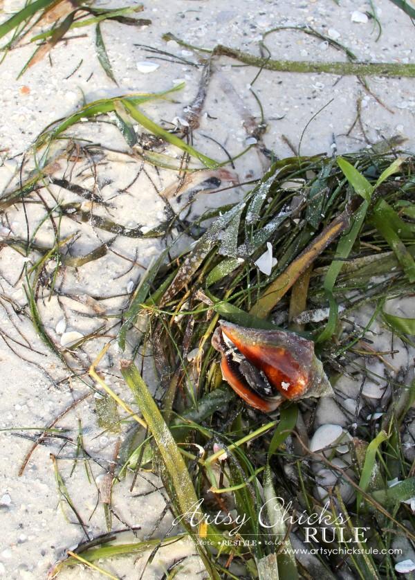 Anna Maria Island Florida Vacation - found a pretty shell but it was still inhabited - artsychicksrule