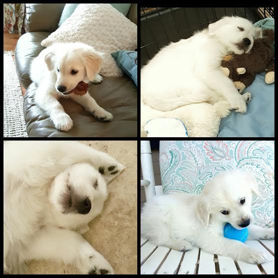 Ryderboy - artsychicksrule.com #puppy #goldenpuppy
